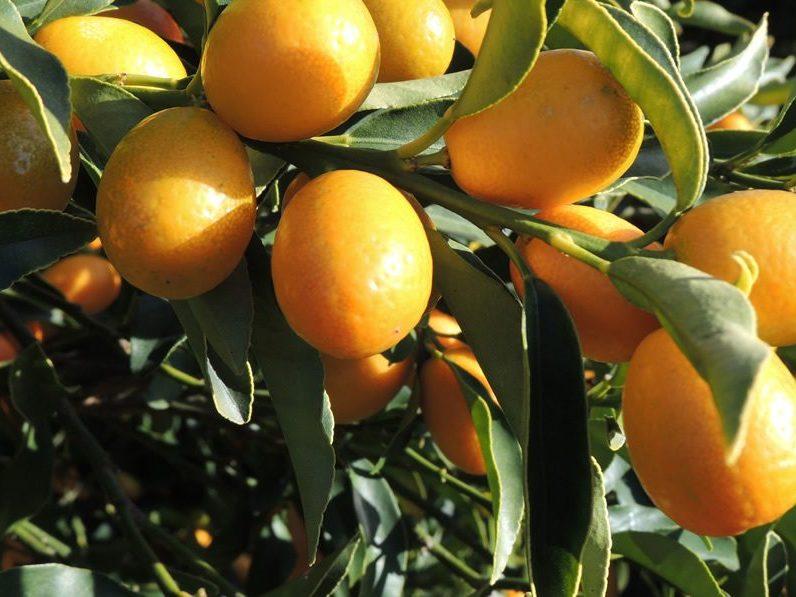 cala-kumquat-spirits-kumquats-sur-branche1000